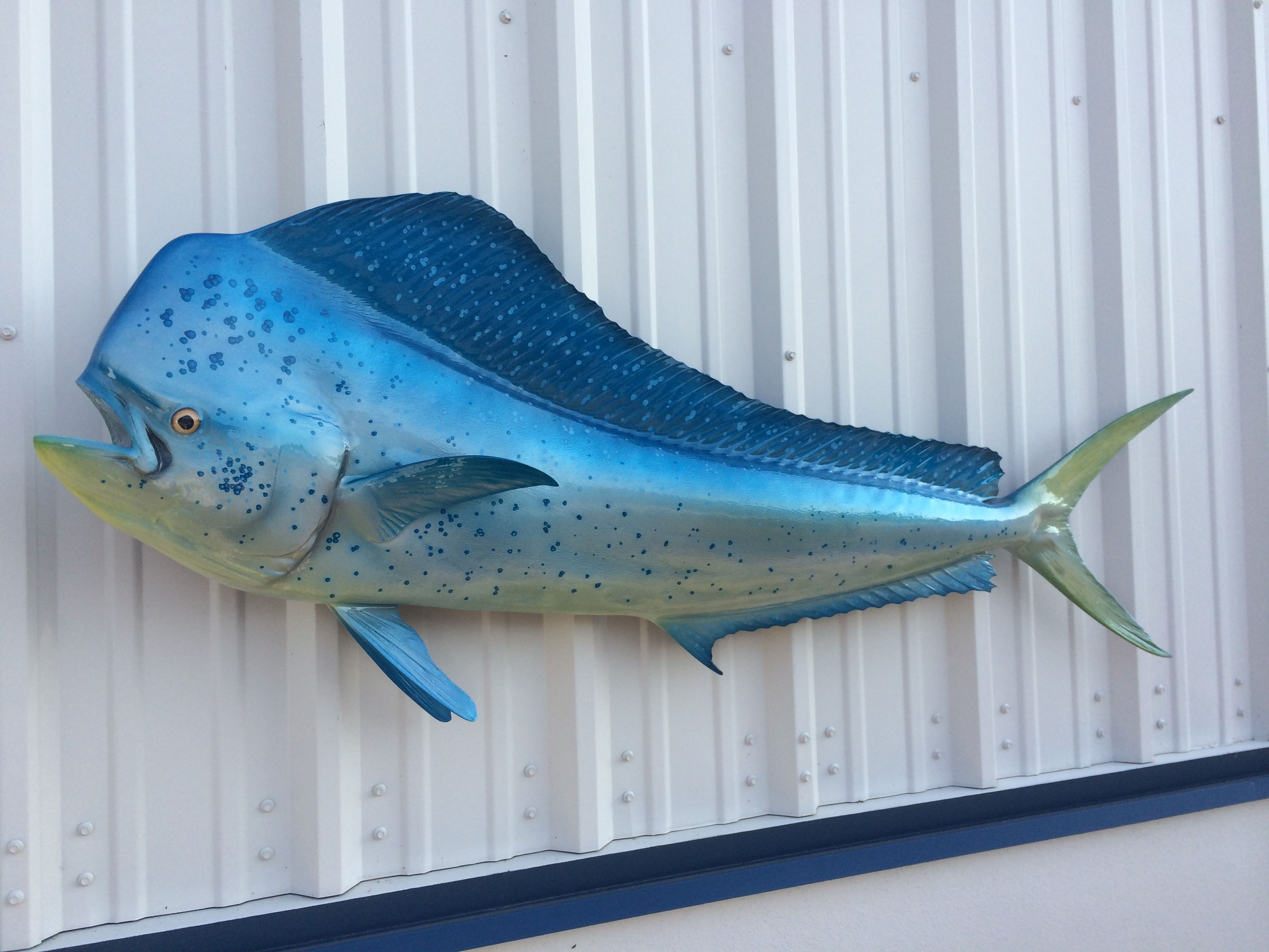 Electric blue dorado aka bull dolphin or mahi mahi 62 for Mahi mahi fish