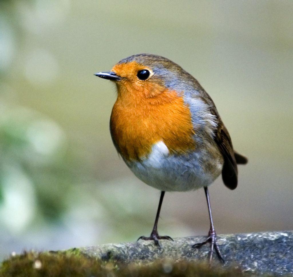 https://www.google.fi/search?q=robin bird