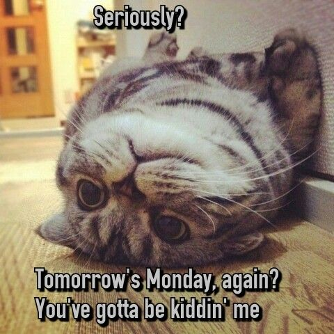 Seriously Tomorrow S Monday Again You Ve Got To Be Kidding Me Cat Cute Animals Funny Animals Cute Cats