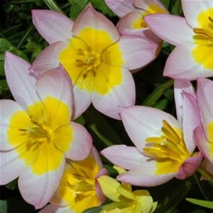 Bakeri Lilac Wonder Tulip Bulbs x 25 These originate in the Far East and have been developed in countries around the Mediterranean A very popular range