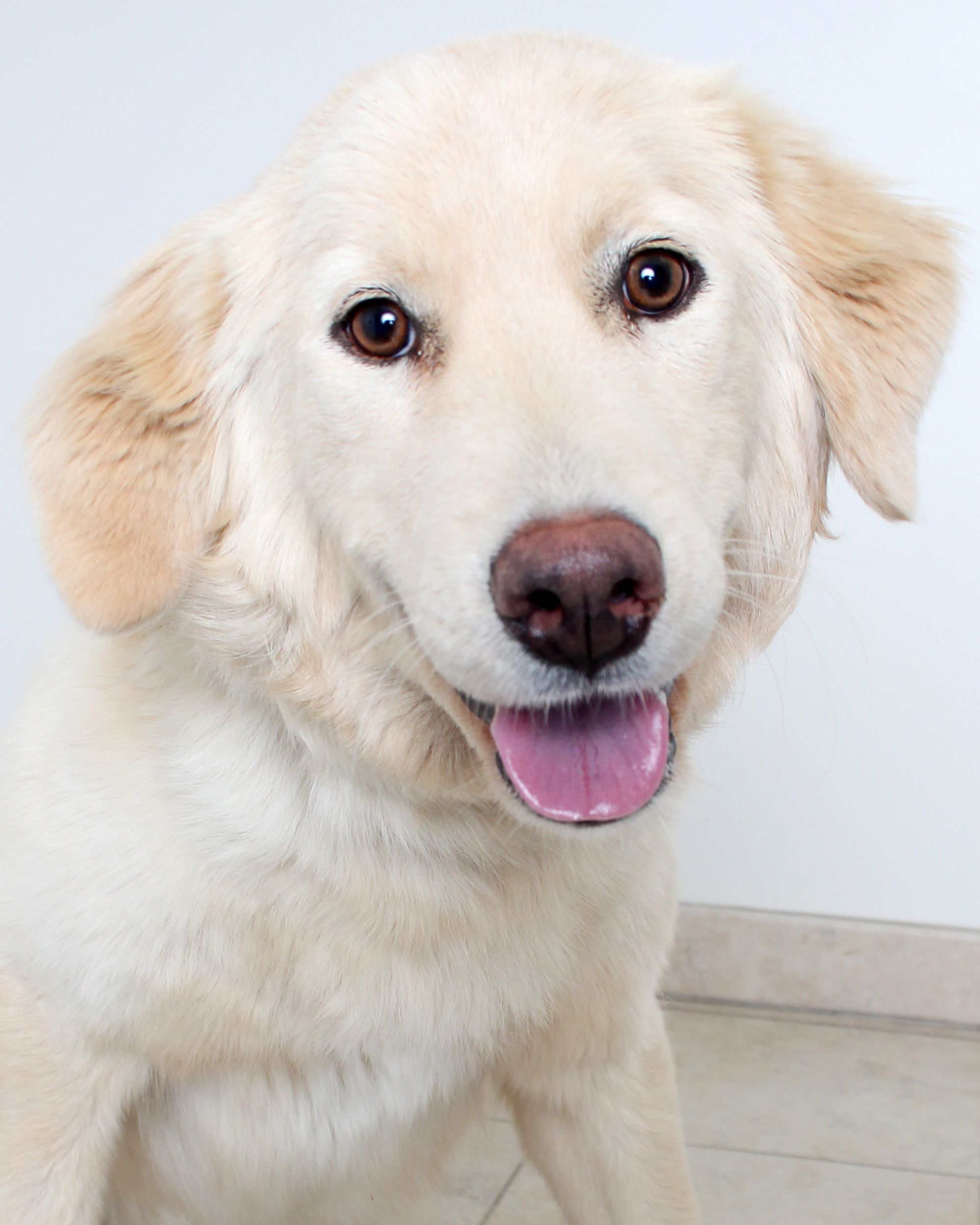 Golden Retriever dog for Adoption in Eden Prairie, MN. ADN