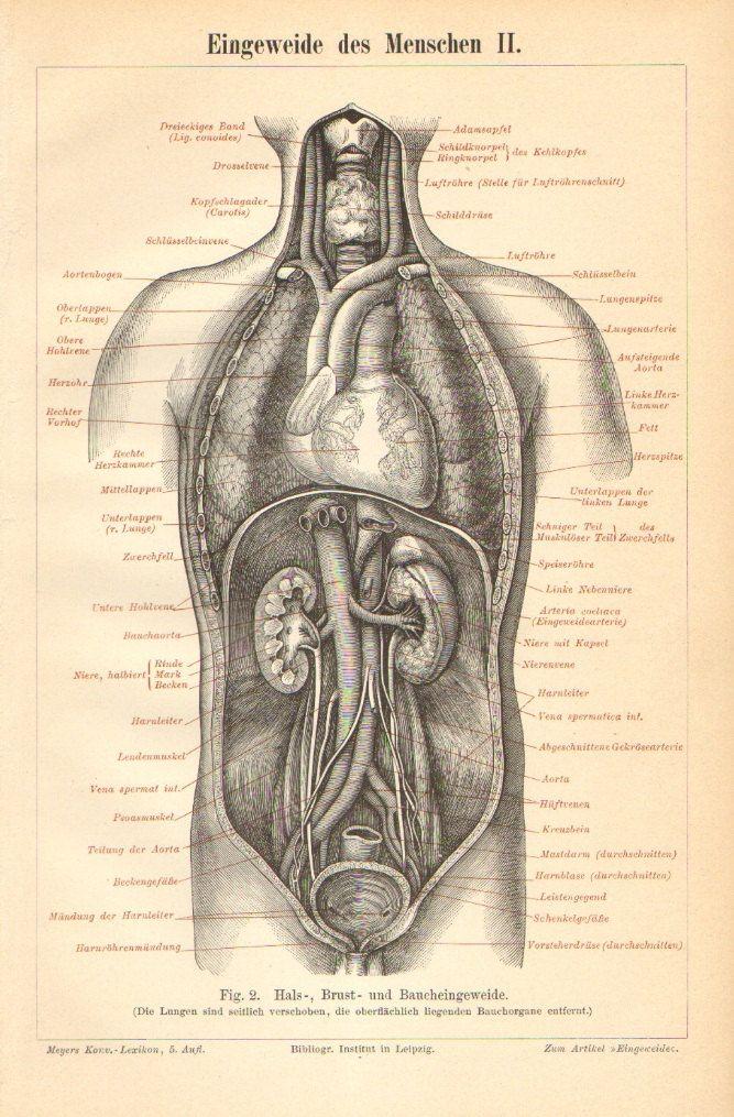 1894. Eingeweide des Menschen II. Fig. 2. Hals, Brust und ...