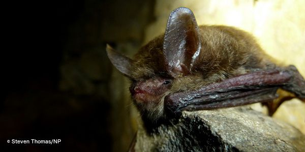 Tell FWS to List the Northern Long-Eared Bat As Endangered Now! - Last year, due to WNS and habitat loss, the U.S. Fish and Wildlife Service finally proposed to list these bats as endangered. But the agency soon backtracked under pressure from logging and oil and gas industries that opposed the listing.