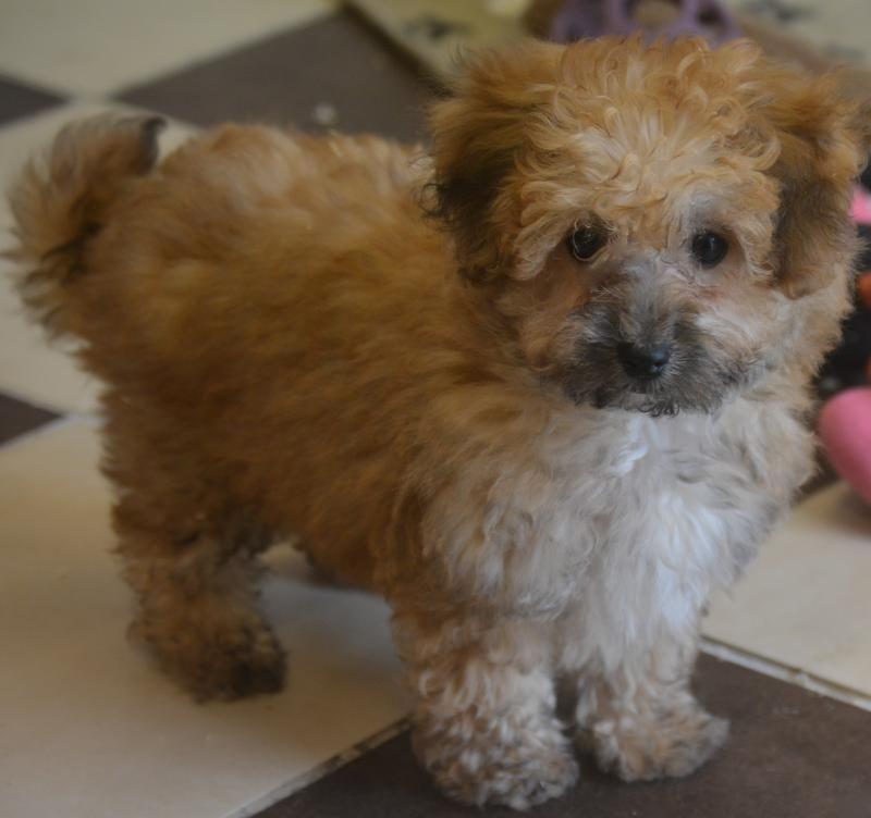 Affectionate Cavapoochon Little Boys And Girls Designer And