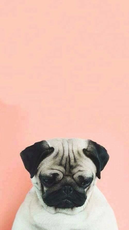 dog, pug, and wallpaper image  Backgrounds + Headers  Pinterest  Wallpaper, Dog and Phone