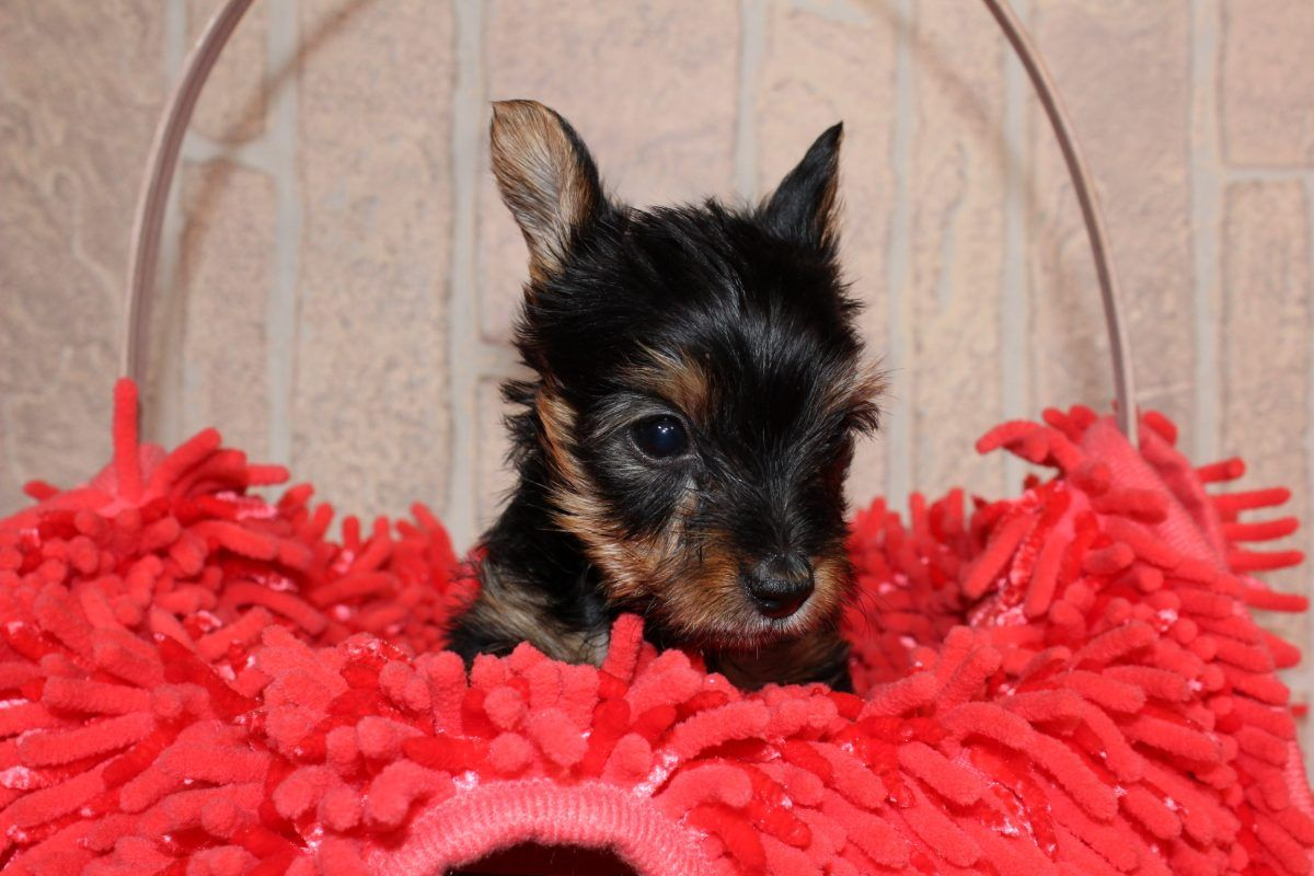 Liz A Female Yorkshire Terrier Puppy In Nappanee In Yorkshireterrier Yor Yorkshire Terrier Puppies Yorkshire Terrier Puppy Yorkie Yorkshire Terrier Dog