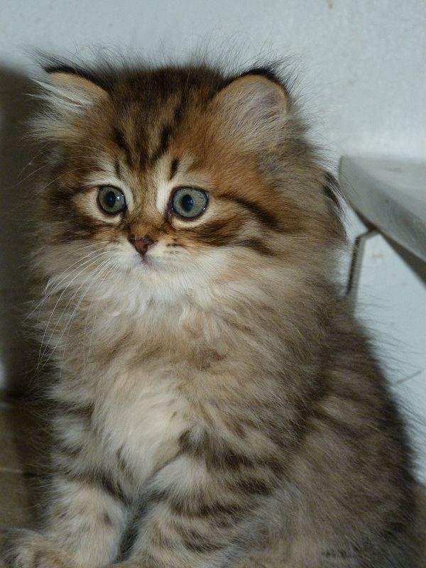 British Shorthair Cat By Jean Michel Labat British Shorthair Cats Tabby Cat Cats