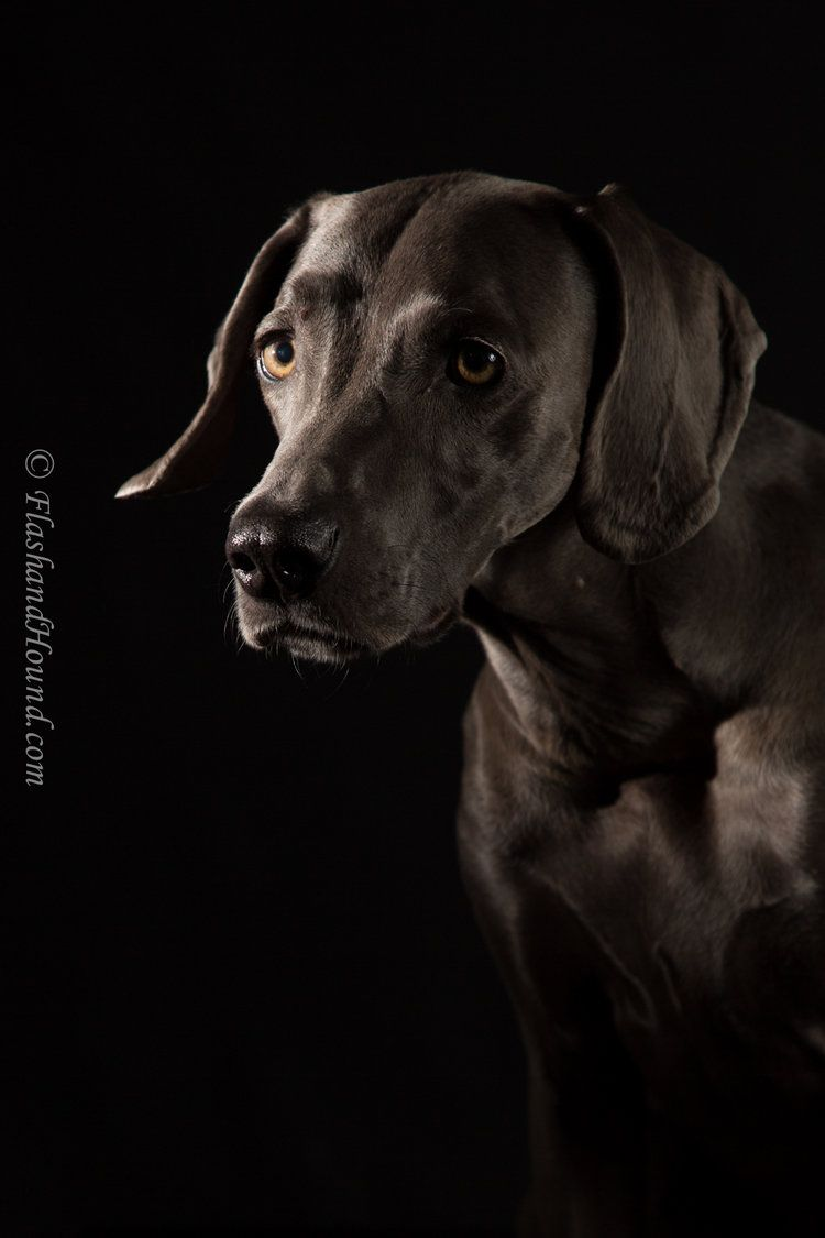 Weimaraner Portrait Low Light Studio Pet Photography Hundar