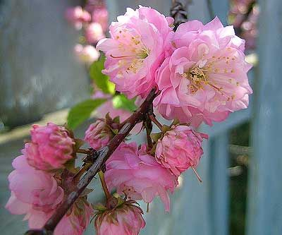 The essence of life is to care,,,,,,,,,,,,,,,,Flowering Almond Bushes