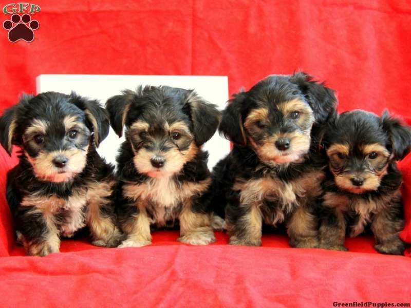 yorkie chon for sale dorkie puppies teddy yorkie chon puppies for sale in 2583