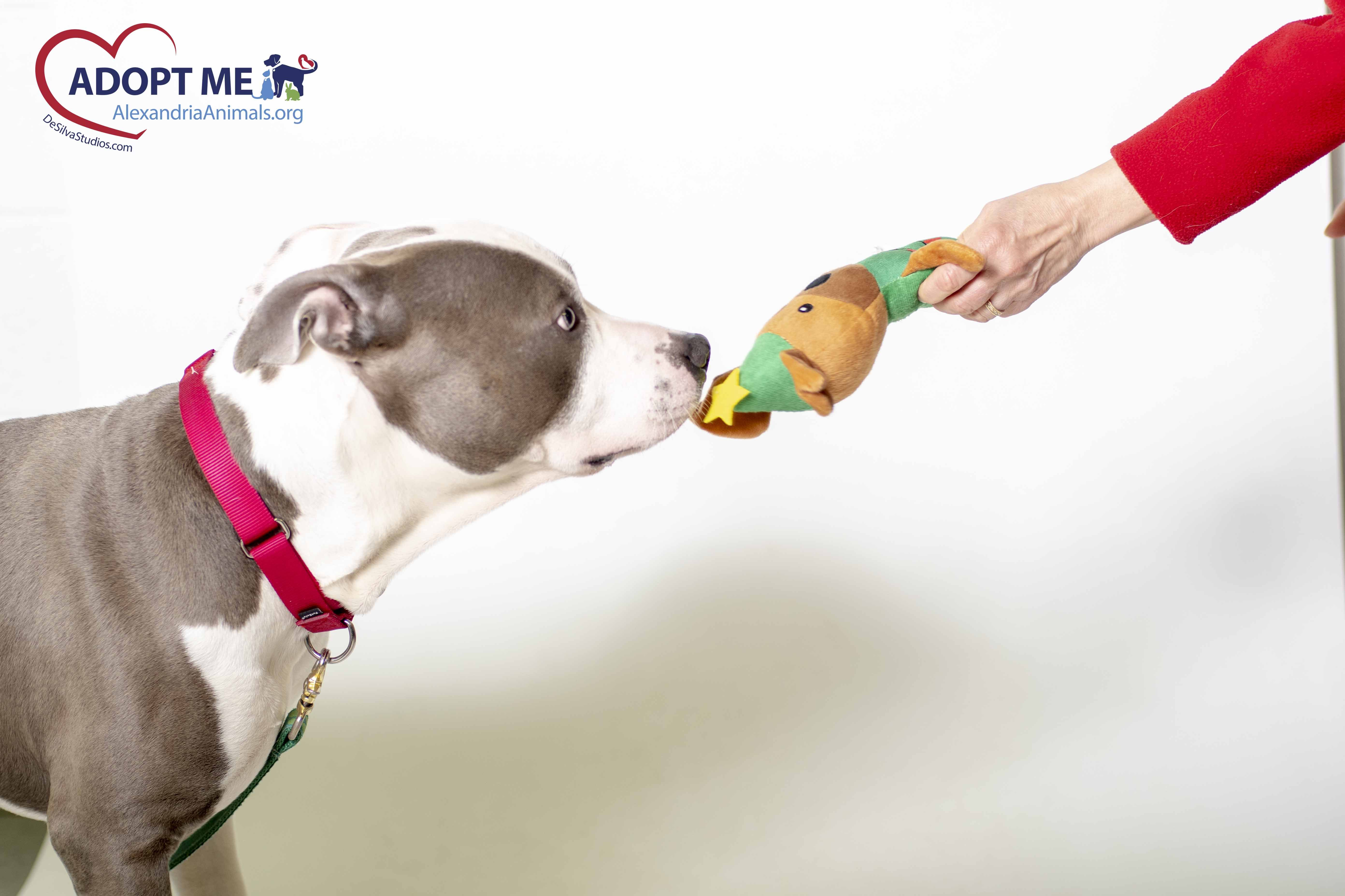 Rocco By Desilva Studios Llc With Images Dogs Animals Pitbulls