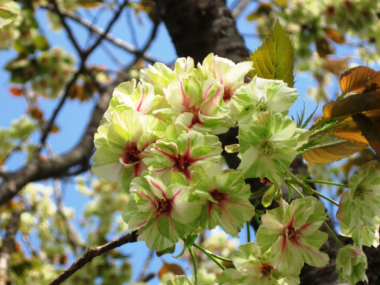 Image result for gyoiko cherry blossom