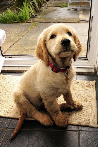 Golden Retriever #Puppy & Golden Retriever #Puppy | DogWorld | Pinterest | Retriever puppies ...