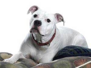 Tomahawk Is An Adoptable American Bulldog Dog In Saint Louis Mo