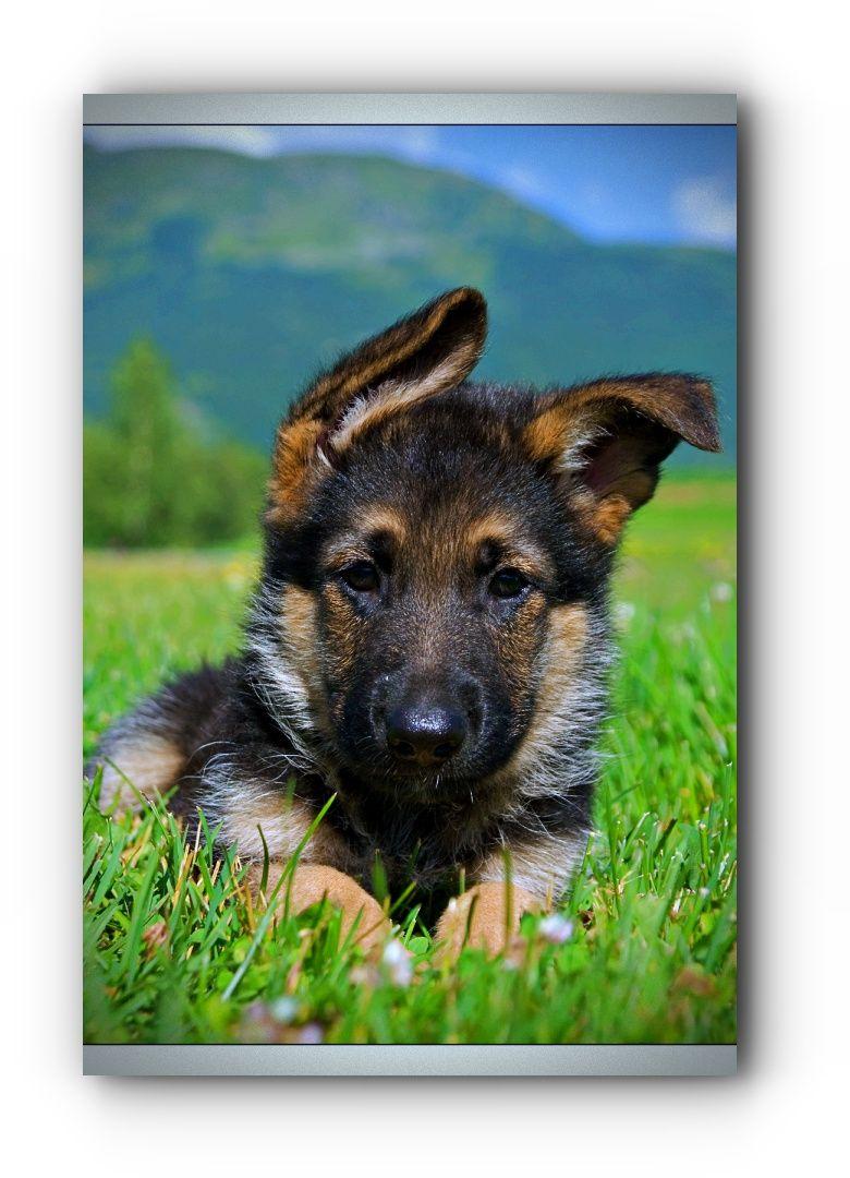 Take A Look At German Shepherd Rescue Ohio Black German Shepherd Adoption German Shepherd Adoption German Shepherd Rescue German Shepherd Dogs