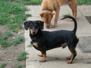 Adopt Yoyo On Petfinder Dogs Adoptable Dachshund Dog Dachshund
