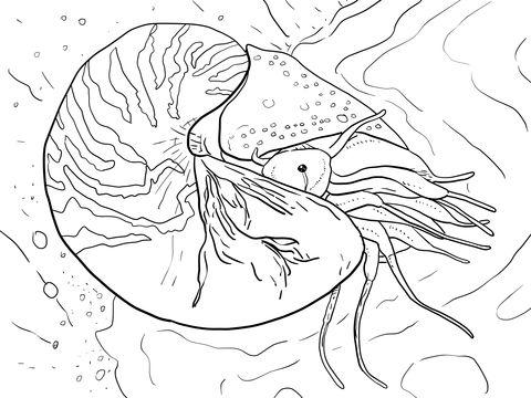 Chambered Nautilus Or Nautilus Pompilius Coloring Page Animal