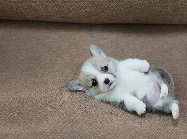The Cutest Corgi Puppy Ever It S Like He S Stuck On His Back