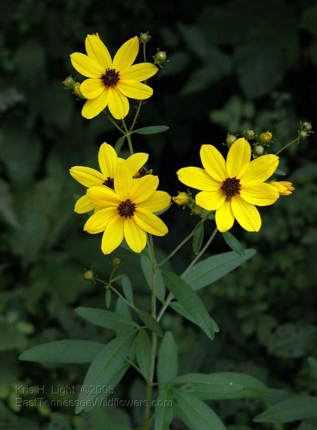 November coreopsis tripteris each flower is relatively small so each flower is relatively small so the intensity of colour is perfectly balanced by generous proportions of foliage chris marchant mightylinksfo