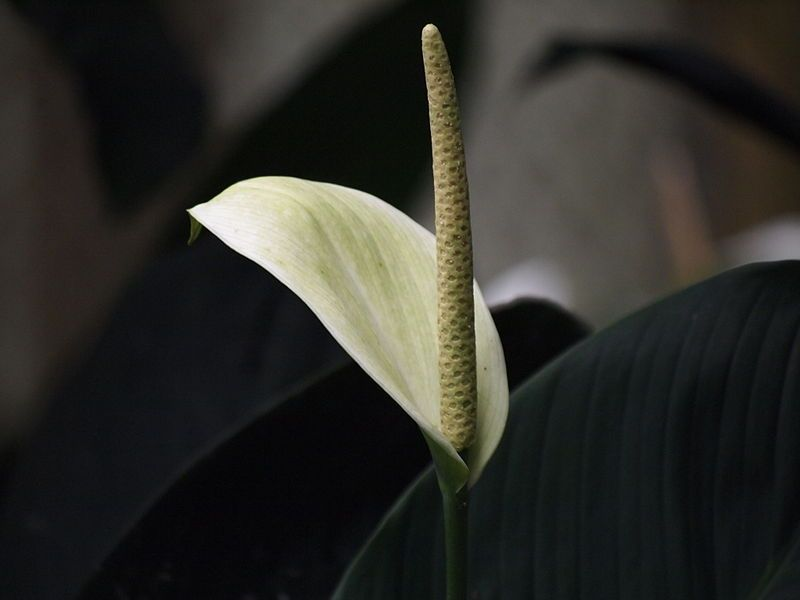 Anthurium Flower Facts Growing Caring Anthuriums Plant Anthurium Flower Anthurium Anthurium Care