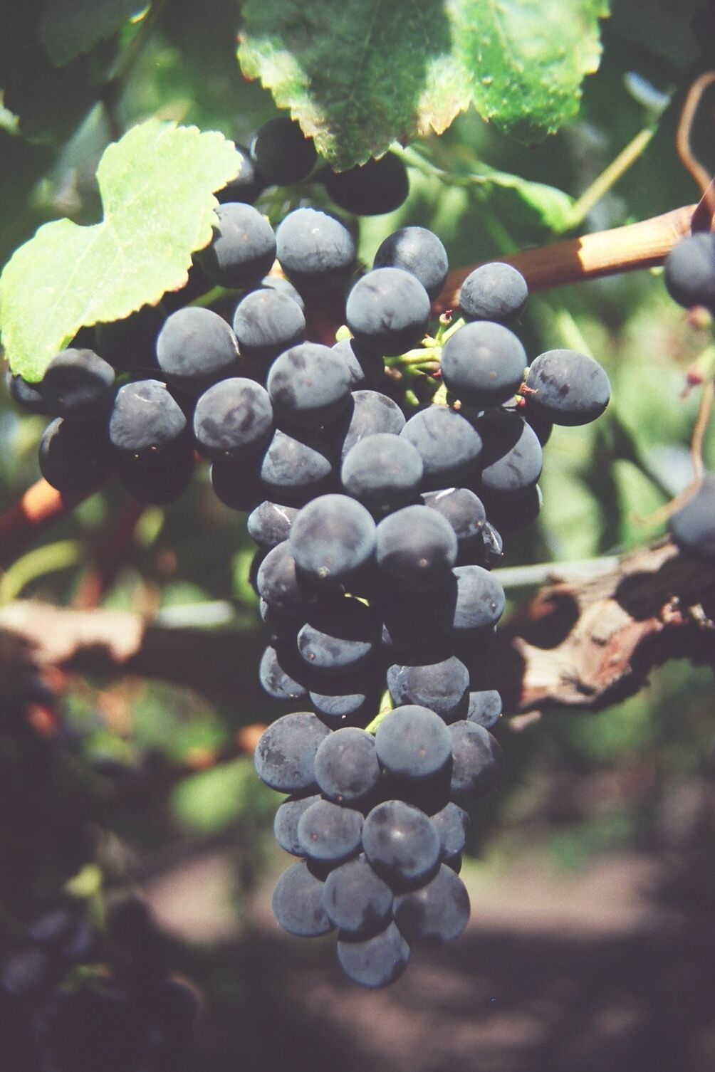Grapes: Planting, Growing, and Harvesting Grape Vines in ...