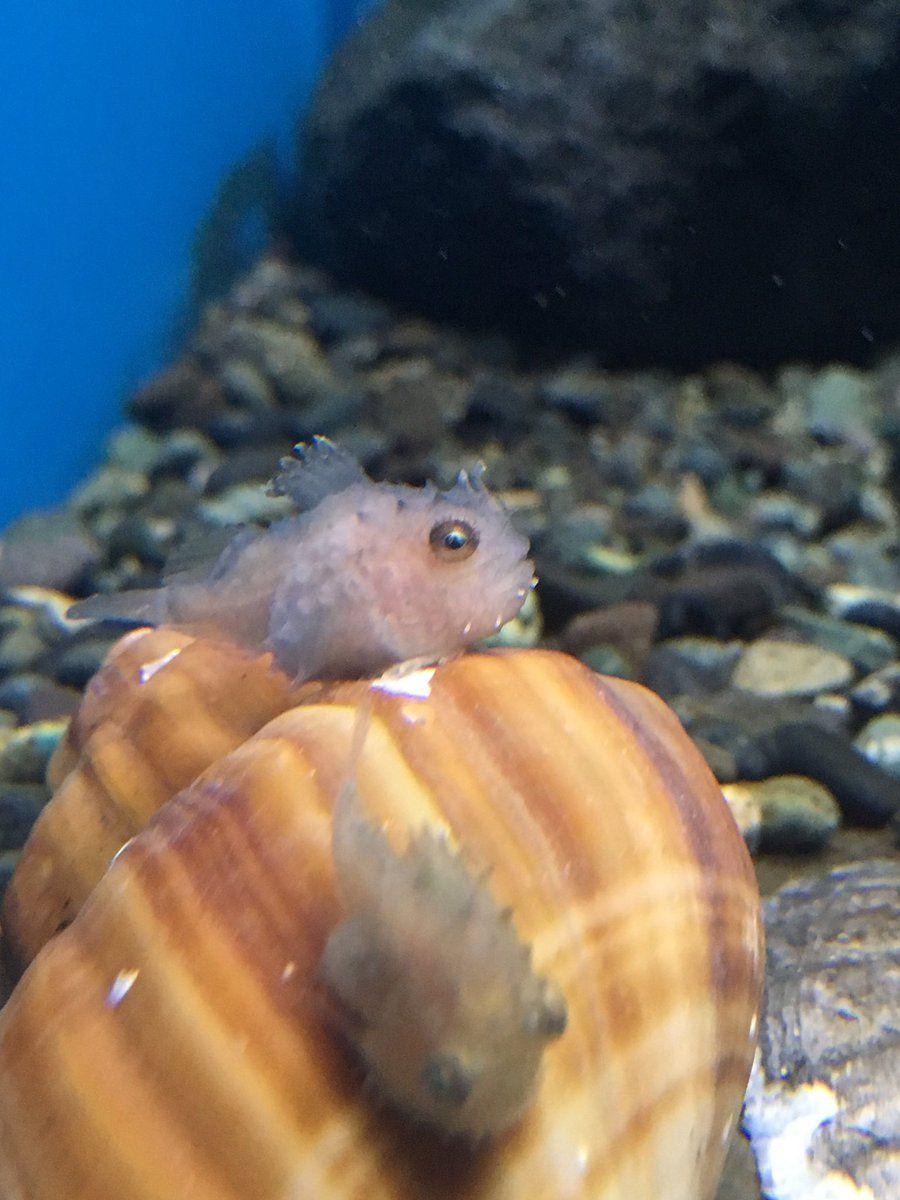 仙台うみの杜水族館公式 On Twitter 水族館 動物 ダンゴウオ