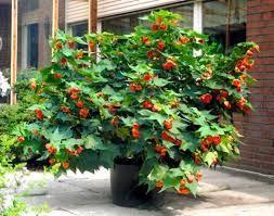 Znalezione Obrazy Dla Zapytania Roza Chinska Domowa Plants