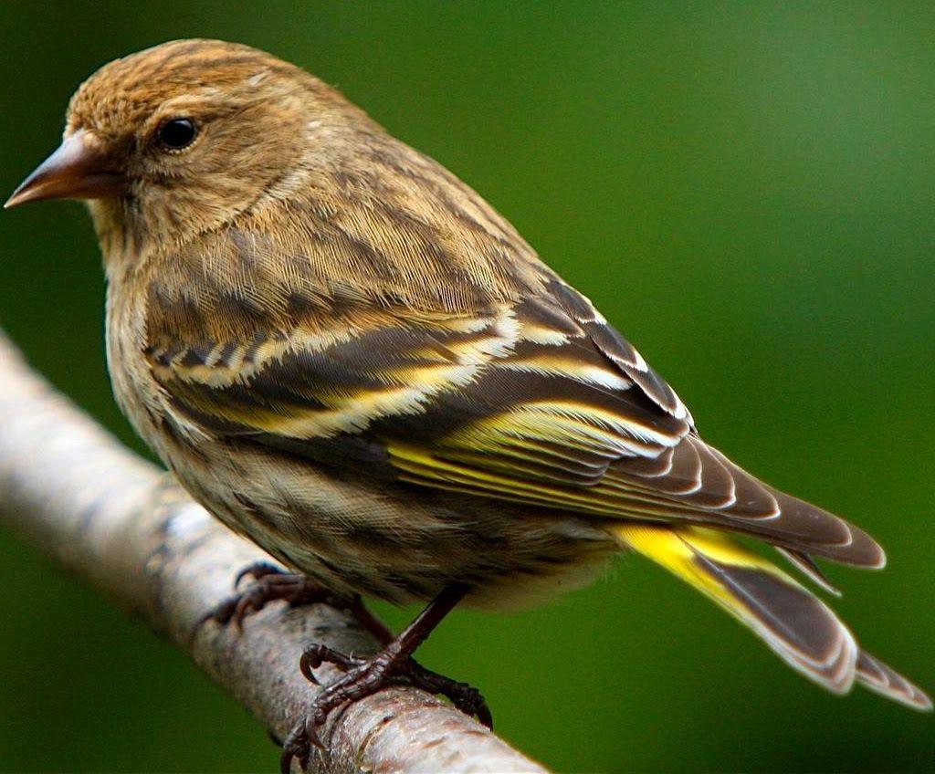 Pine Siskin | Birds, Pet birds, Common birds