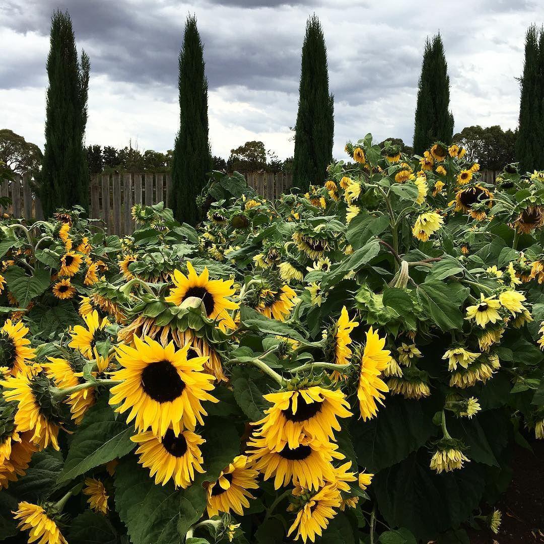 Fields of summer sunflowers at Lambley Nursery  #sunflowers #summer #lambley #nursery #Ascot #flowers