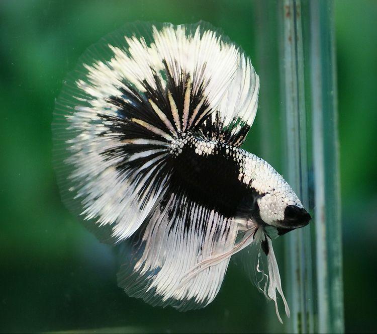 Stunning Black And White Betta It Has The Clear Edging Betta Fish Betta Betta Fish Types