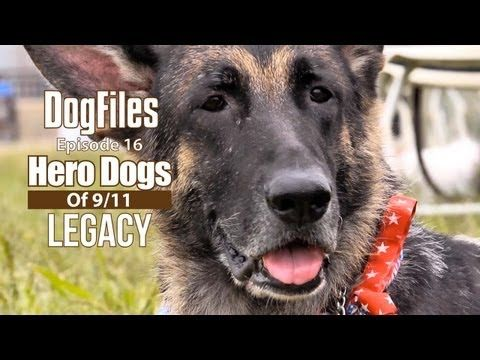 Over 350 dogs & their handlers responded in the aftermath of 9/11. It was the largest deployment of SAR (search-and-rescue) dogs in U.S. history. In memory of the humans and animals who lost their lives. We will never forget.