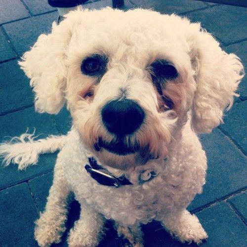 Lost White Bichon Frise Darch Bichon Frise Losing A Dog Bichon