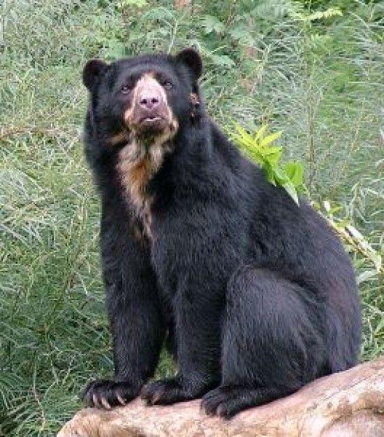 oso de anteojos  COLOMBIA  Pinterest  Anteojos Osos y Animales