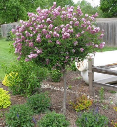 The Only Reblooming Lilac Tree If You Love Lilacs But Have Always Wished For A Longer Blooming Season Try Th Lilac Tree Sloped Garden Patio Garden Design