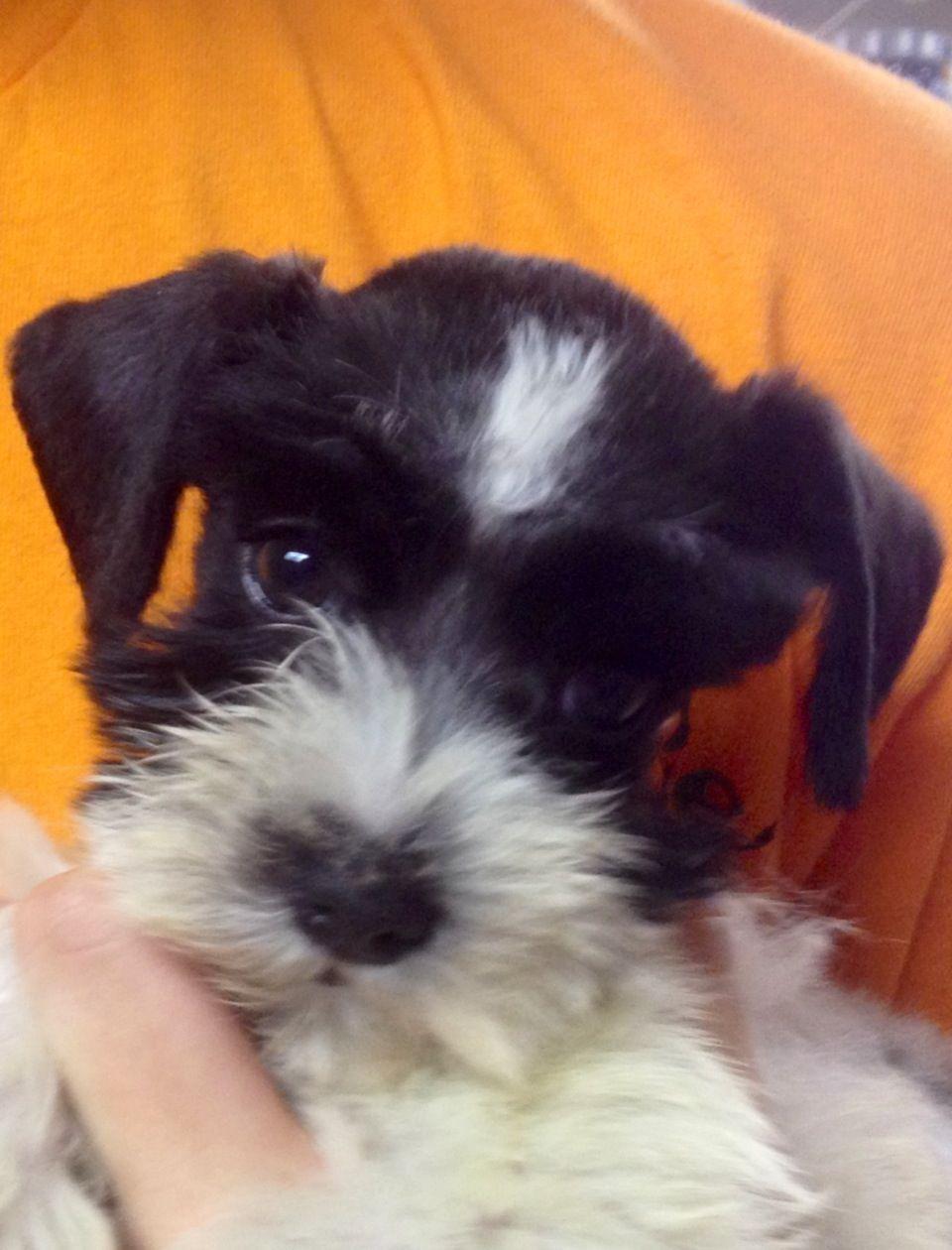 Isabel 8 weeks #mini schnauzer | Cute animals, Animal ...