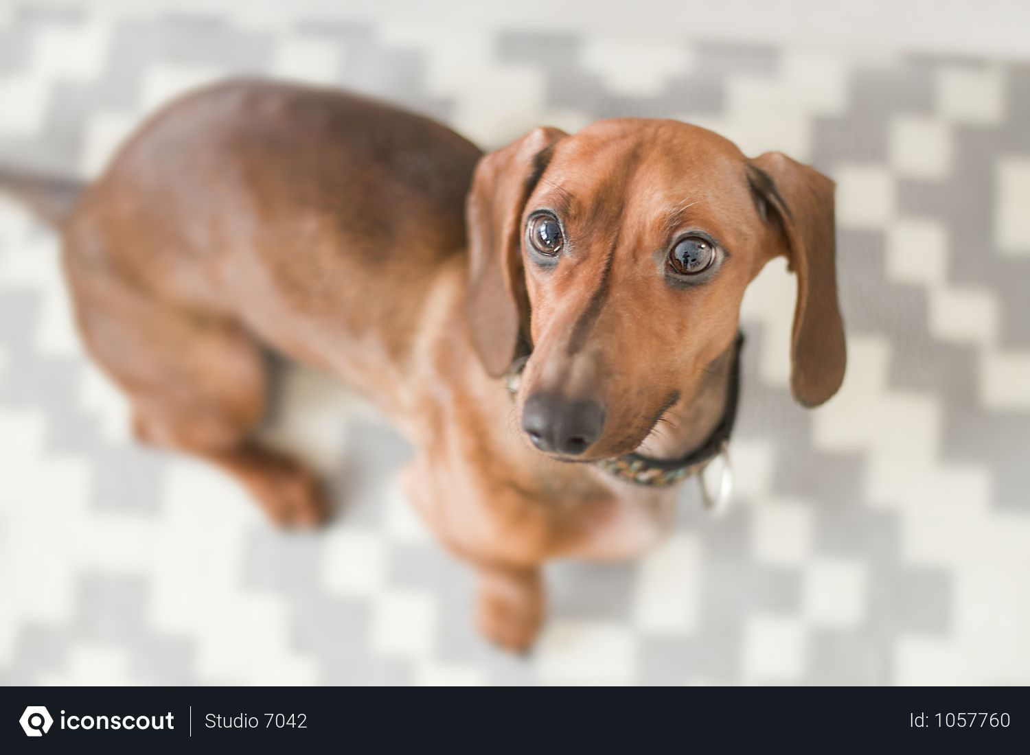 Free Close Up Photography Of Dachshund In House Photo Training