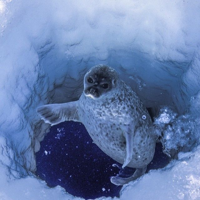 paulnicklen for Natalie Brewer. A ringed seal, cautious