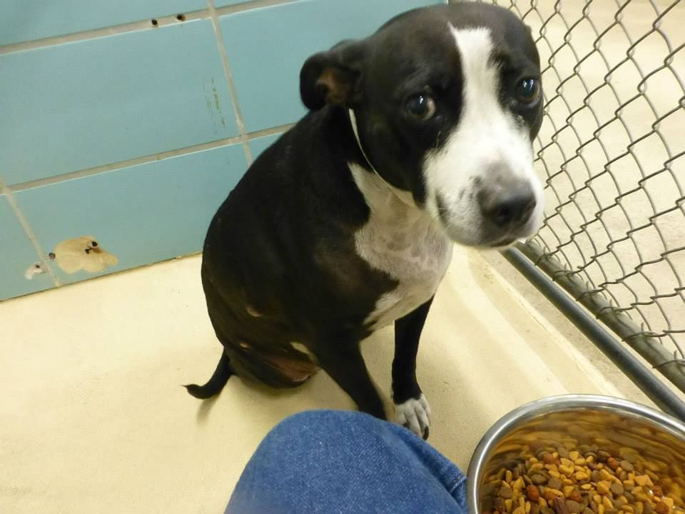 SAFE --- Rescue Me Tampa - Shelter Dogs     12-7-14 Please keep sharing Bella, no change on her and she is not going ot get long at all   Little girl Bella is so scared in the shelter – with good reason . She is listed as a 10 yo pit mix and was surrendered for aggression to people. She is very fearful and owners stated she is going to bite someone. She came in wi... https://www.facebook.com/250846728289533/photos/pb.250846728289533.-2207520000.1418076944./881326901908176/?type=3&theater