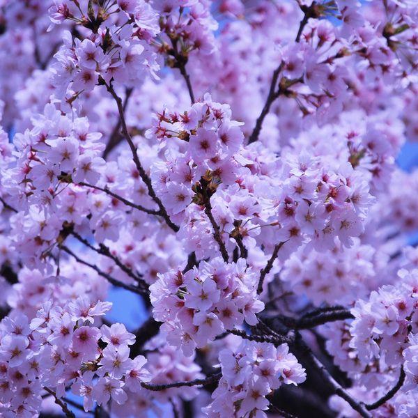 Cherry Blossoms Around The World Fleurs Printemps