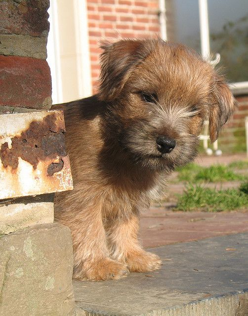 Pin By Kim King On Animals Norfolk Terrier Puppies Norfolk Terrier Cute Puppies