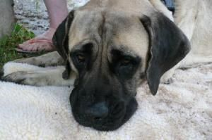 Blossom Is An Adoptable Mastiff Dog In Edmond Ok Please Note