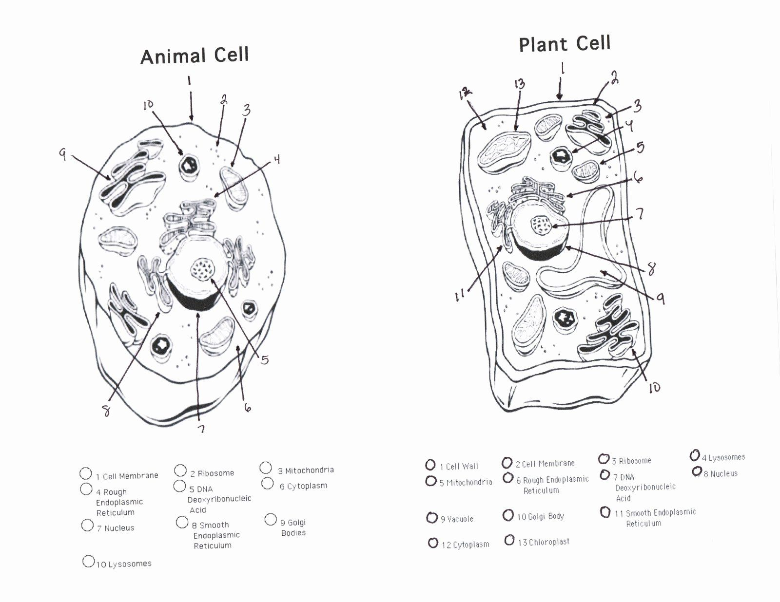 Animal And Plant Cells Worksheet Inspirational Parts