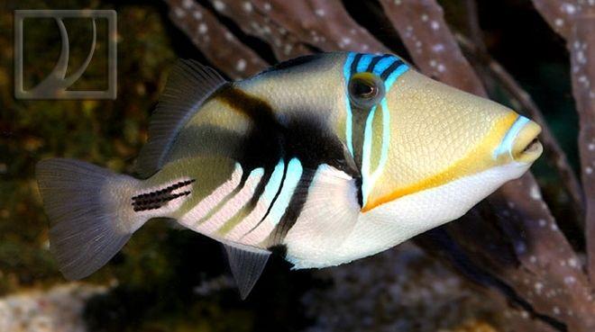 Humu Picasso Triggerfish Saltwater Aquarium Fish Salt Water
