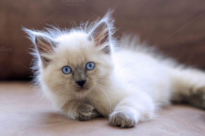 White Balinese Kitten Pretty Cats Kitten Breeds Balinese Cat