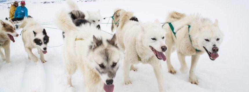 Hundeschlittenfahren In Gronland So Klingt Inuit Alltag Der Spiegel Reise Hunde Schlitten Hundeschlitten