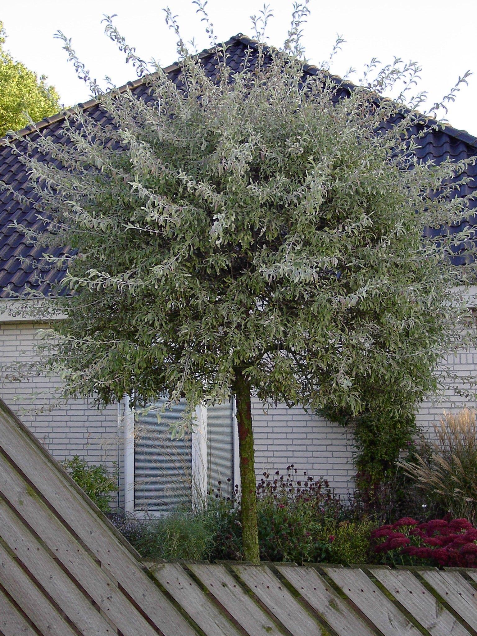 Pyrus salicifolia 39 pendula google zoeken tuin - Gartenpflanzen straucher ...