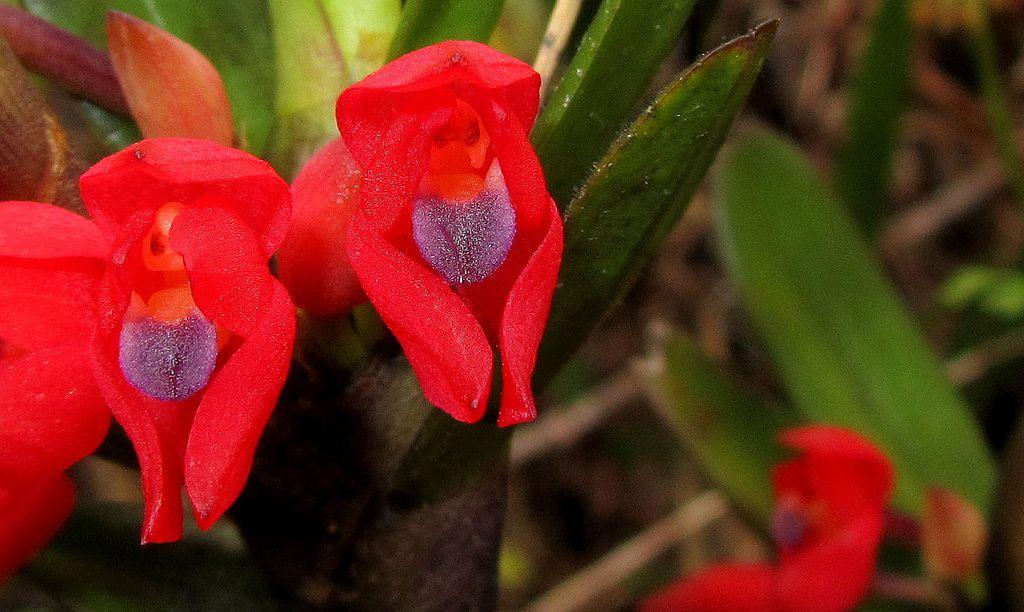 Maxillaria ruberrima