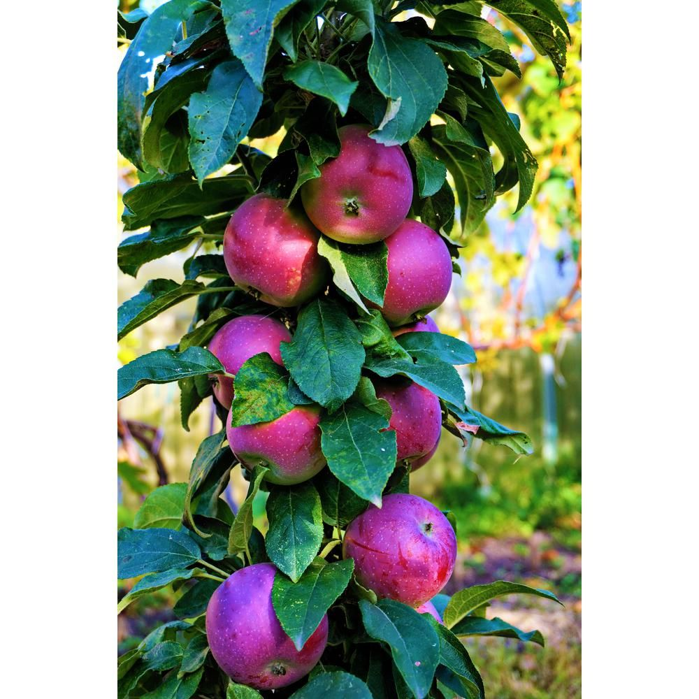 Online Orchards Scarlet Sentinel Limbless Apple Tree Bare Root 3 Ft To 4 Ft Tall 2 Years Old Ftca003 The Home Depot Apple Tree Raspberry Plants Fruit Trees