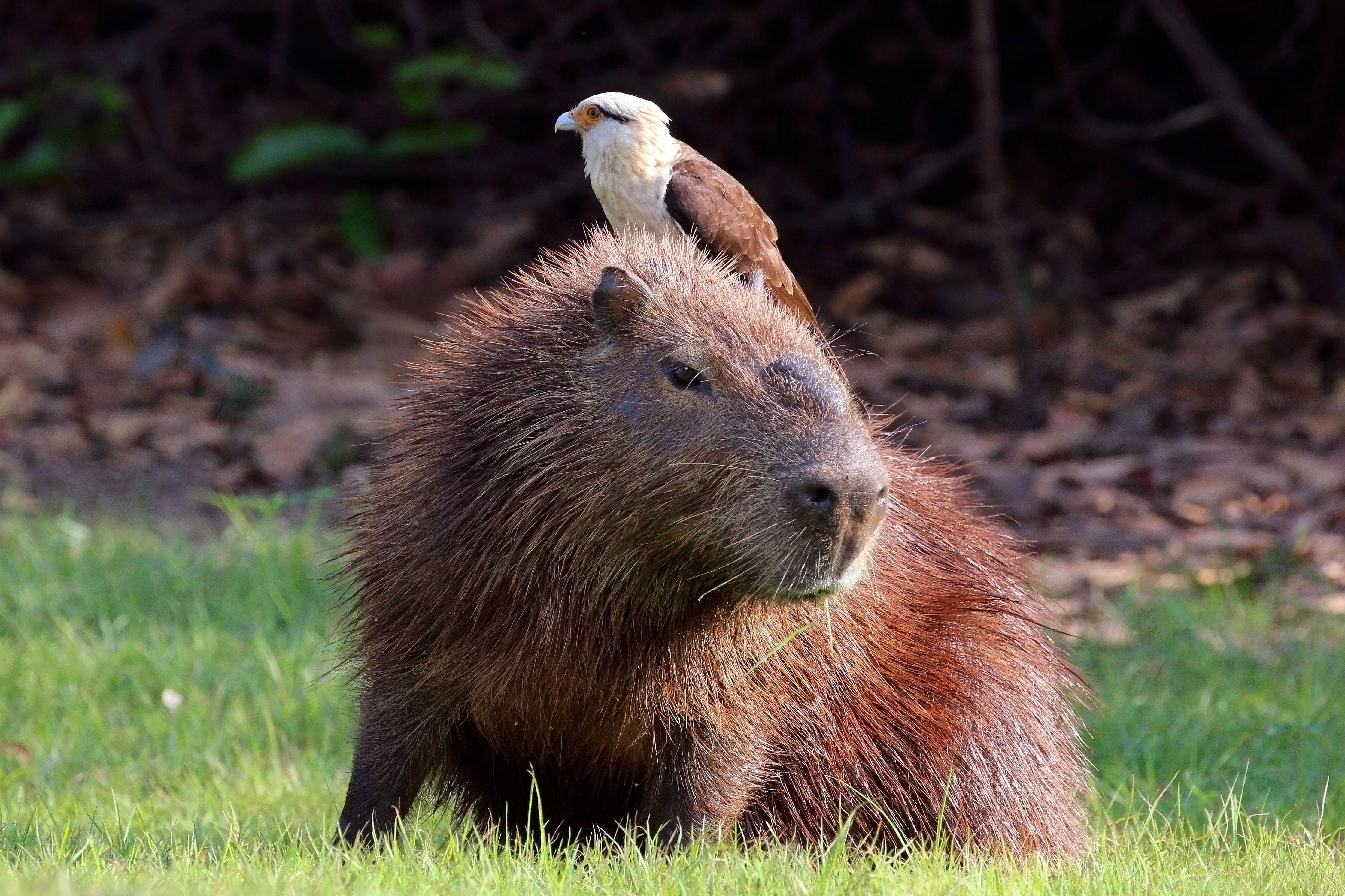 Variation 3 (With images) Capybara, Animals, Wildlife