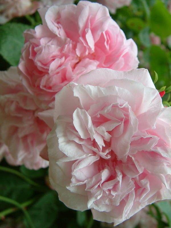 Hybrid Wichurana Rambling Rose: Rosa 'May Queen' (U.S., 1898)